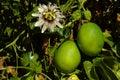 Passiflora edulis - passion fruits Stock Image