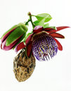 Passiflora. Flower and fruit. Royalty Free Stock Photo