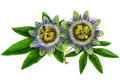 Passiflora Passion Flower homeopathic plant isolated clipping path included Royalty Free Stock Photo