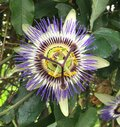 Passion Flower in full bloom - Rue des Orteaux, Paris Royalty Free Stock Photo