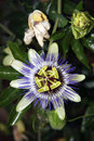 Passion flower 2 Royalty Free Stock Image