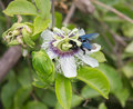 Passion flower insects are fruit nectar of flowers Royalty Free Stock Photo