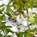 Passion Flower Jungle Stock Image