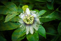 Passion fruit exotic maracuja flower Royalty Free Stock Photo
