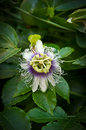 Passion fruit exotic maracuja flower Royalty Free Stock Image