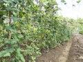 Passion fruit trees on a farm in Balamban, Cebu, Philippines Royalty Free Stock Photo