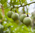 Passion fruits on a tree Royalty Free Stock Photo