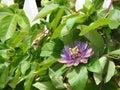 Passion Vine Flower Royalty Free Stock Photo