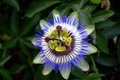 Passionflower Royalty Free Stock Photo