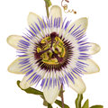 Passionflower with leaves and tendrils Royalty Free Stock Photo