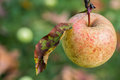 Past peak looking down at apple still on tree but way its prime Royalty Free Stock Photography