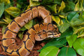 Pastel Ball Python Stock Photos