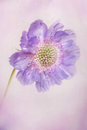 Pastel petals scabiosa flower with texture and softness applied textured backgrounds used in this image are also my own personal Royalty Free Stock Photo