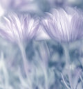 Pastel photo soft focus beautiful tender daisy flowers spring time nature Royalty Free Stock Images