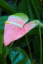 Pastel Pink Anthurium Lily Royalty Free Stock Photo