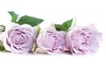 Pastel shade roses shot of beautiful tender Stock Images