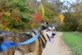 Pastor alemán hermoso dog walking en rastro Foto de archivo