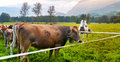 Pasture with cows and horse green in switzerland Stock Images