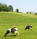 Pasture near albi france cows at tarn midi pyrenees at summer Royalty Free Stock Photography
