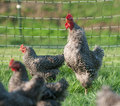 Pasture raised chickens Royalty Free Stock Photo