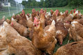 Pasture raised chickens feeding Stock Images
