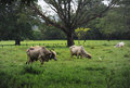 Pasture in samara region cattle grazing on the costa rica Stock Photography