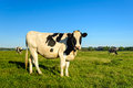 Pasture with young black spotted cows Royalty Free Stock Photo