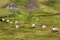 Pastures of Sheep on the Grossglockner High Alpine Road Royalty Free Stock Photo