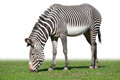 Pasturing Grevy's zebra Stock Photos