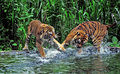Pasuruan tiger fights in lake at the safari park in east java indonesia Stock Images