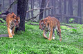 Pasuruan two tigers together in the woods of the safari park in east java indonesia Royalty Free Stock Photography