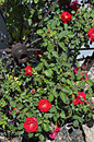 Pat s wagonwheel roses has a he nurtures to climb around this display is the first of the year Stock Photo