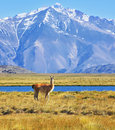 Patagonia perito moreno national park yellow field blue lake and snow capped mountains on the banks of grazing llama argentine Stock Photos