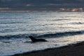 Patagonia sea lion on the beach Royalty Free Stock Photo