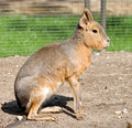 Patagonian cavy 3 Stock Photos