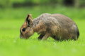 Patagonian cavy the mara in the grass Stock Photography