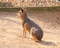 Patagonian hare Royalty Free Stock Photography