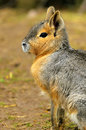 Patagonian Hare Royalty Free Stock Photos