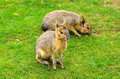 Patagonian Hare Stock Photography