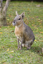 Patagonian hare Stock Photos