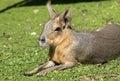 Patagonian Hare Or Mara 1