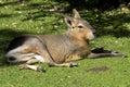 Patagonian Hare Or Mara Restin...