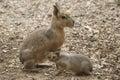 Patagonian mara is nursing her cub Royalty Free Stock Photo
