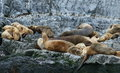 Patagonian sea lion colony, Beagle Channel Royalty Free Stock Photo