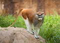 Patas Monkey Stock Photos