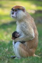 Patas monkey the care of juvenile Royalty Free Stock Photos