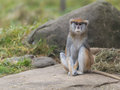Patas monkey erythrocebus patas also known as the wadi or hussar Stock Photography