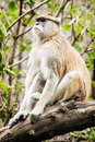 Patas monkey erythrocebus patas sitting on the branch and ob observing surroundings animal scene Royalty Free Stock Image