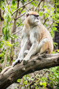 Patas monkey erythrocebus patas sitting on the branch and ob vervet observing surroundings animal scene Royalty Free Stock Photography