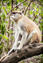Patas monkey erythrocebus patas sitting on the branch and obse observing surroundings animal scene Stock Image